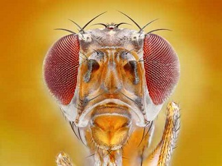 Fruit Flies May Provide Answers to How HPV-induced Cancers Work