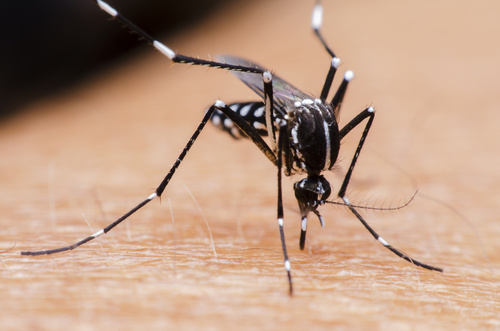 Imiquimod May Stop Mosquito-Borne Viruses in their Tracks