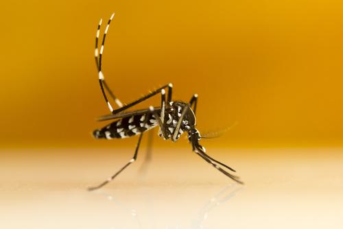Zika Virus Identified in Asian Tiger Mosquitoes in Brazil
