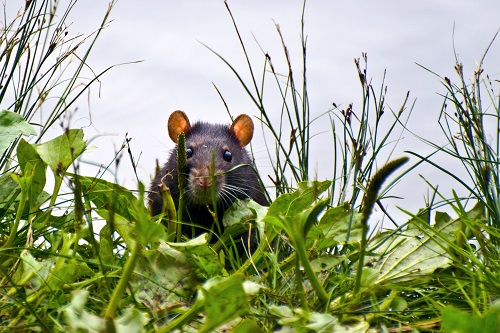 Flood Water Displaces Rodents, Raises Infectious Disease Concerns