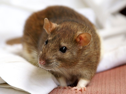 Second Case of Rat Hepatitis E Virus Identified in Hong Kong