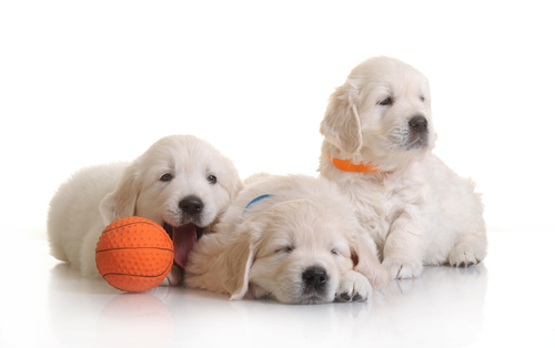 Multistate <i>Campylobacter</i> Outbreak Linked to Puppies Sold by Petland
