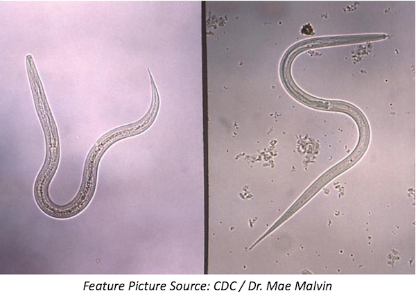 Hookworm Returns to the United States—Did It Ever Really Leave?