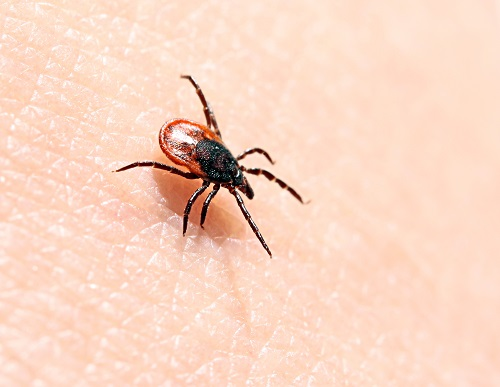 """Risk of Tick-Borne Disease May Be """"Drastically Underestimated"""" in Western US"""