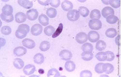 NIH Investigators Discover New Targets for Anti-Malarial Drugs