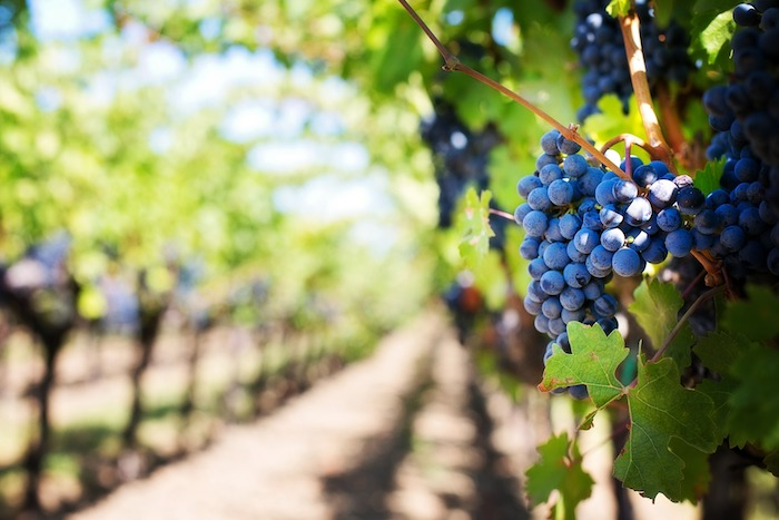 Infected Mice Found in Pressed Grapes Leads to Oropharyngeal Tularemia Outbreak