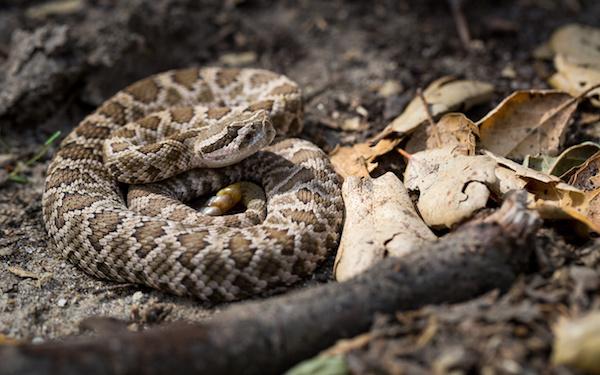 Rattlesnake Pills Responsible for <i>Salmonella</i> Infection in Kansas