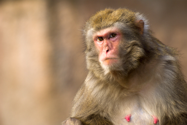 Rhesus Macaques in Florida Park Threaten to Spread Herpes B to Humans