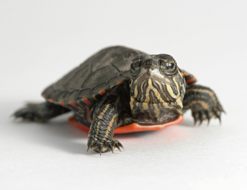 <i>Salmonella</i> Outbreak Linked to Pet Turtles