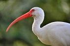 Urbanized White Ibises Could Be Transmitting <i>Salmonella</i> to Human Populations