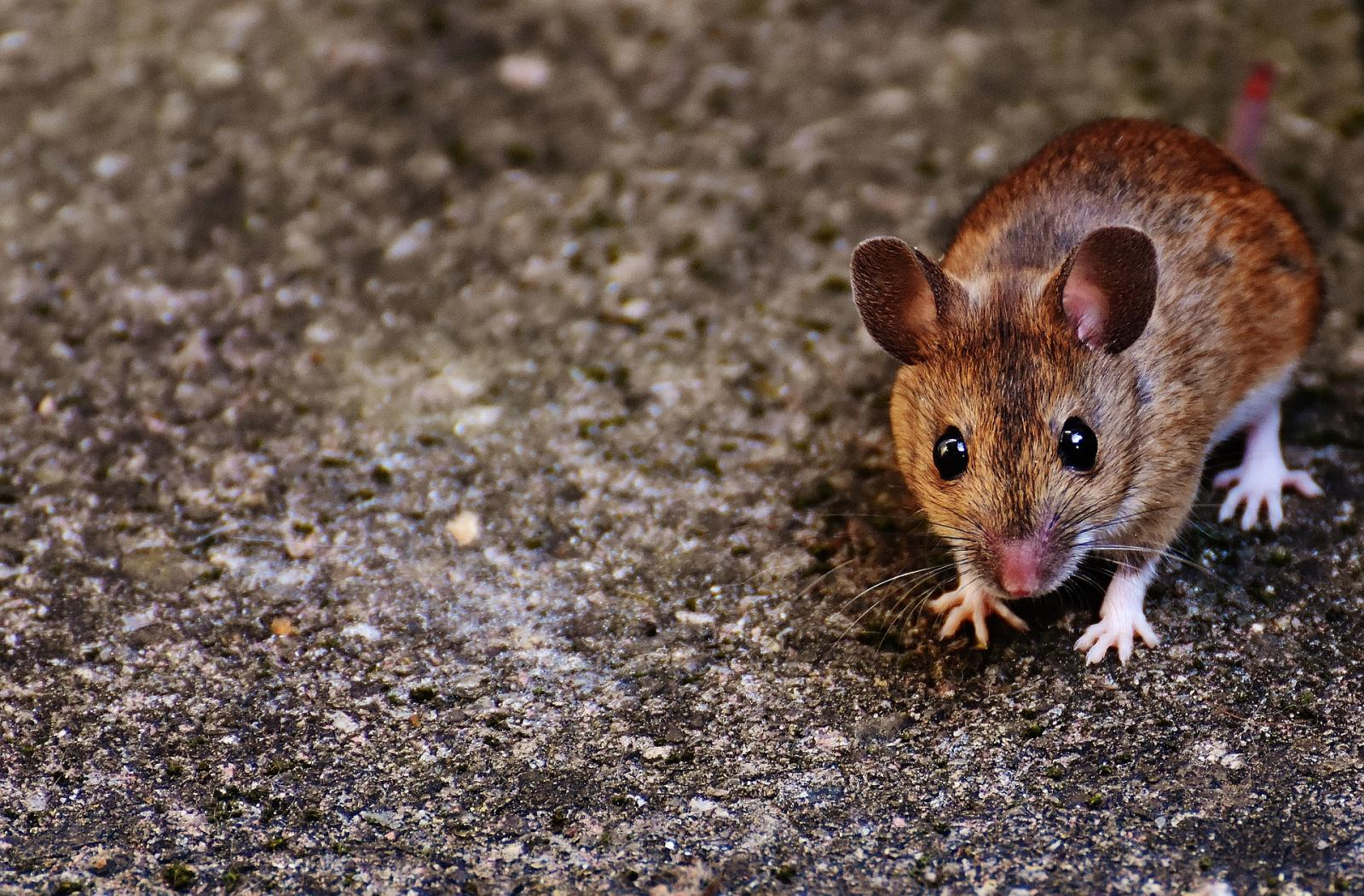 Report Shows Rodents & Poor Sanitation at Farm Tied to Multistate <i>Salmonella</i> Outbreak